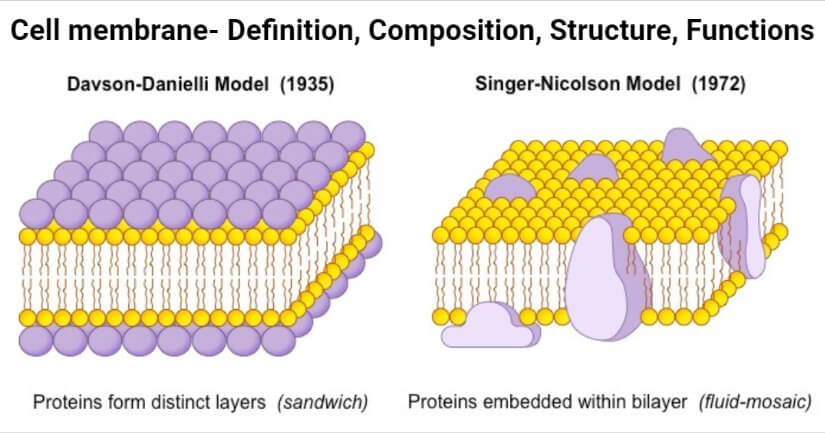 Cell membrane- Definition, Composition, Structure, Functions