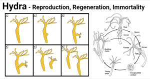 Hydra Reproduction