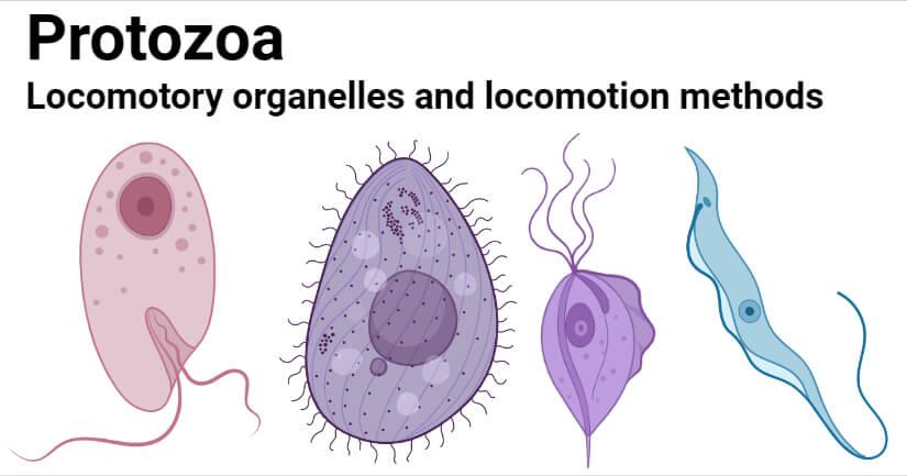 Protozoa- Locomotory organelles and locomotion methods