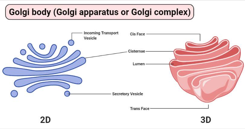 Golgi body (Golgi apparatus or Golgi complex)