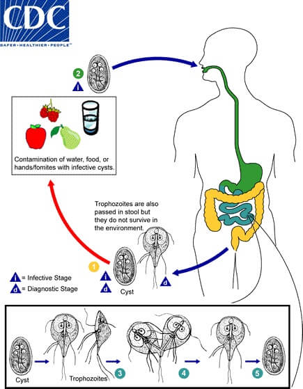 Life cycle and Mode of Transmission of Giardia duodenalis