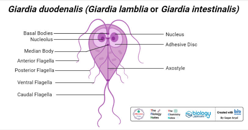 Morphology of Giardia duodenalis