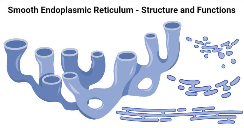 Smooth Endoplasmic Reticulum- Structure and Functions