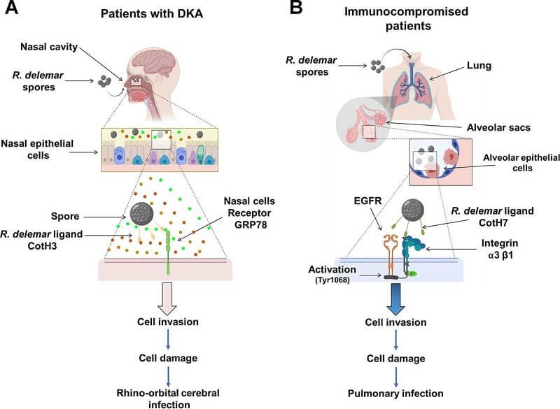 Pathogenesis of Mucormycosis