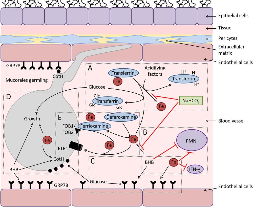 interactions of Mucorales with endothelial cells
