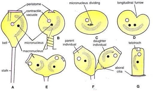 Longitudinal binary fission in Vorticella (Bell Animalcule)