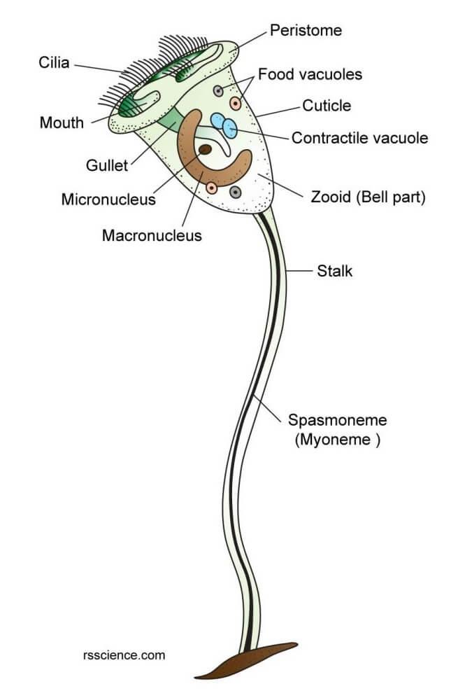 Structure of Vorticella