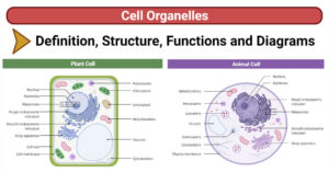 Cell Organelles (Plant and Animal)- Structure, Functions, Diagrams