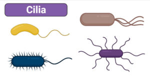 Cilia- Definition, Structure, Ultrastructure, Functions